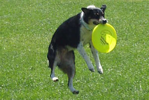 Photo of a dog playing Frisbee. Photo CC licensed and available at http://www.flickr.com/photos/wausaublog/210385400/