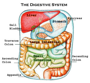 illustration of the digestive tract