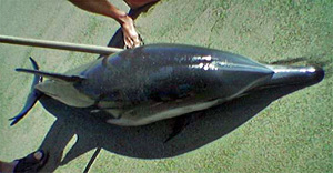 photo of recently died dolphin at Point Dume park in Malibu