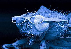 photo of fly wearing shades