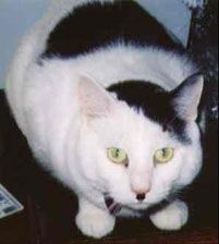 photo of cat that looks like Hitler