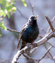 photo of singing starling